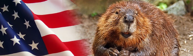 How Beavers and Fops Saved America